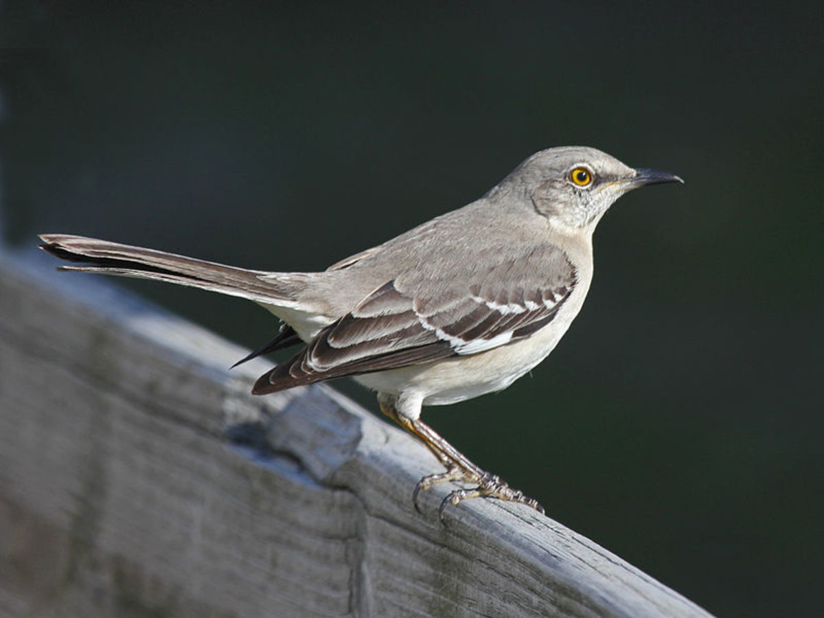Mockingbirds can repeat over 2 dozen calls.  They have been know to repeat telephone rings, rusty hinges and other sounds they often hear.