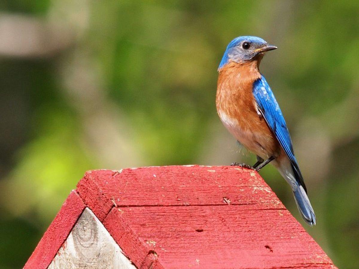 Bluebirds are one of our prettiest residents.  They nest readily in man made bird houses if you take a few steps to ensure a good house.