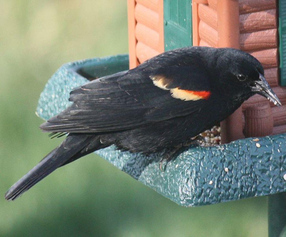 The redwinged blackbird wears his colors like a badge of honor.  And isn't to proud to eat at the feeder.