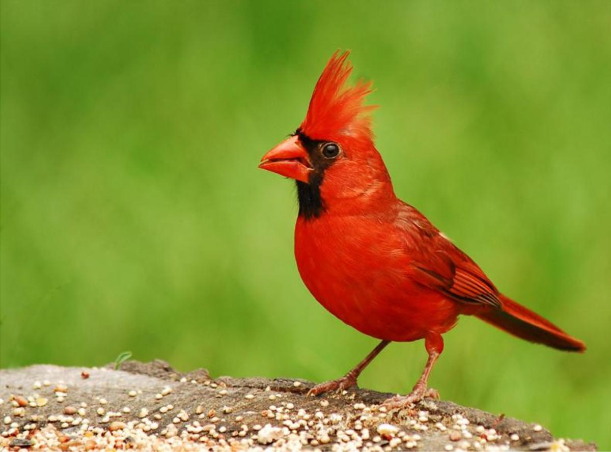 Cardinals are the state bird of North Carolina and are common throughout the state.  Did you know that cardinals have dialects and can not understand other cardinals far off?
