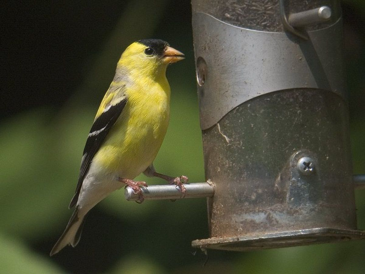Goldfinches travel in flocks and can fill a back yard with color.