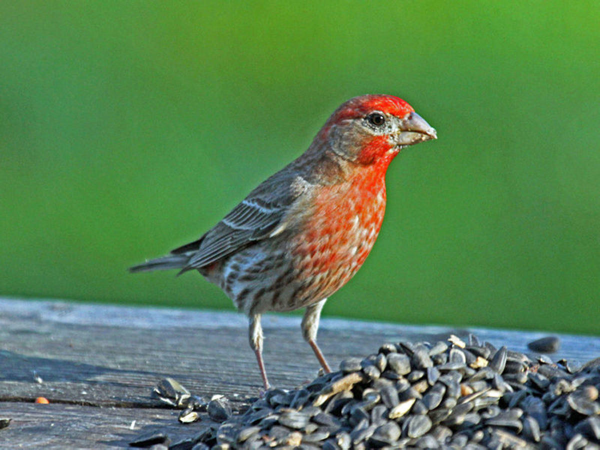 House finches have bright red heads and breasts.  They are often mistaken for purple finches.