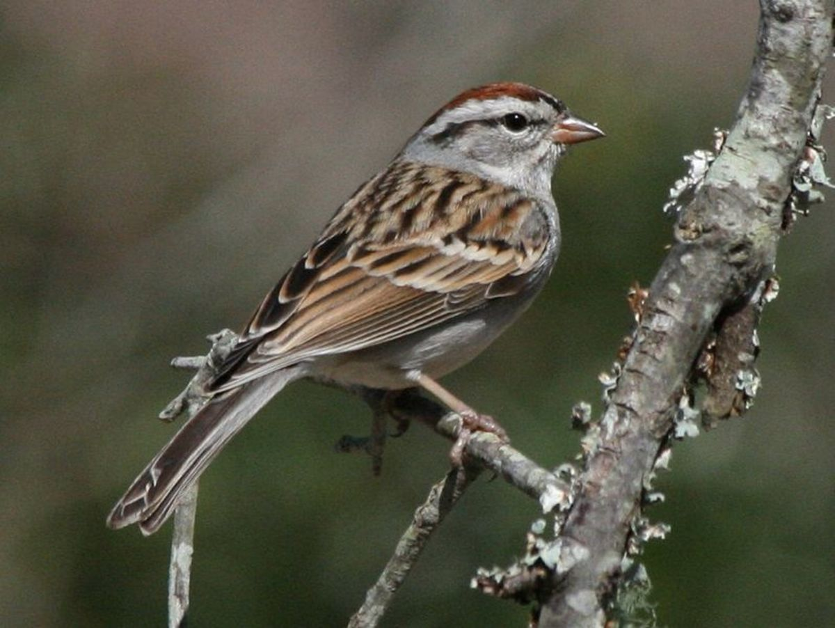 Chipping sparrows inhabit woodland and meadow areas around the mountains and can be found at many elevations.