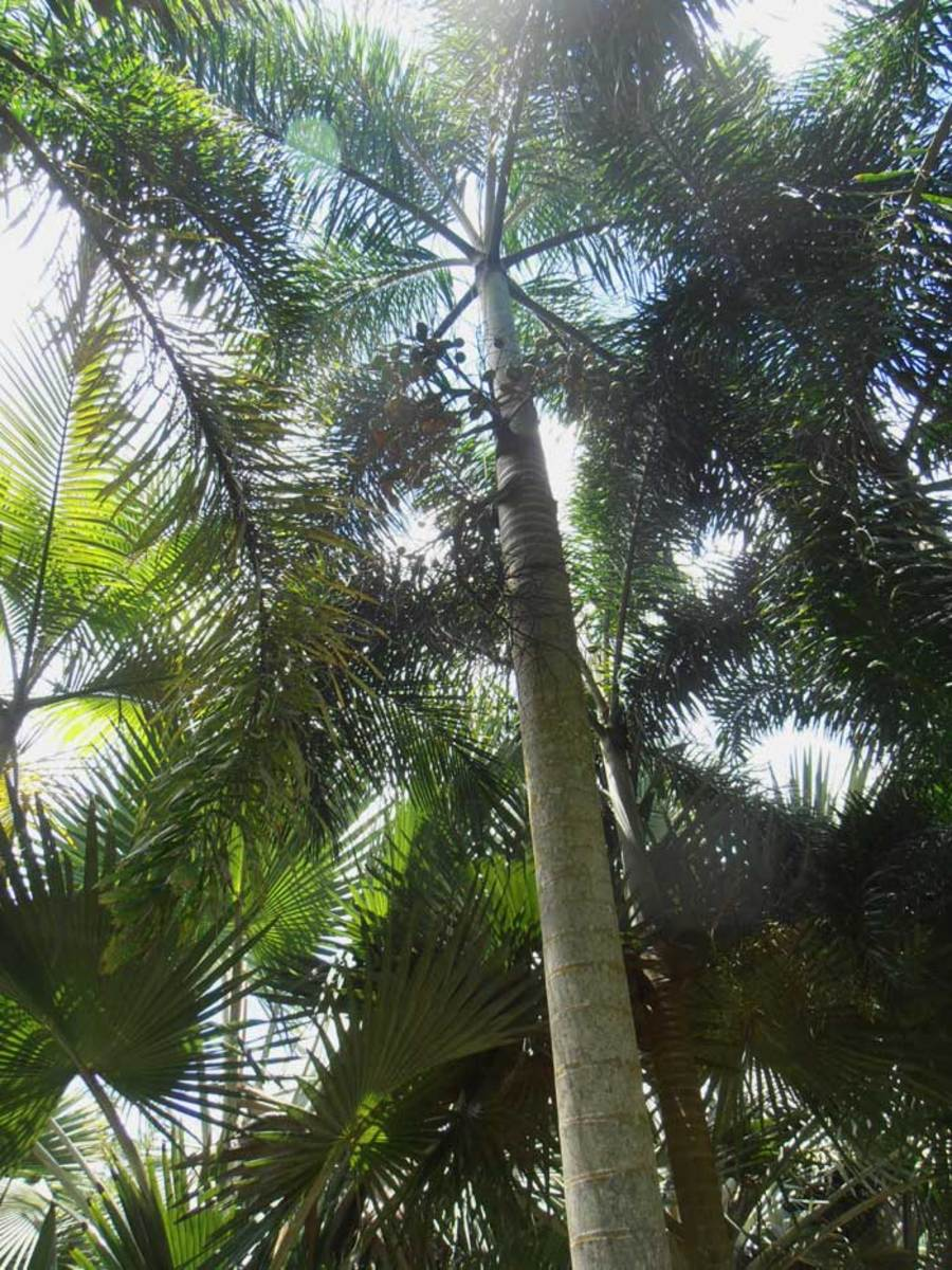 The tall straight trunk of an Areca (Betel nut) palm.