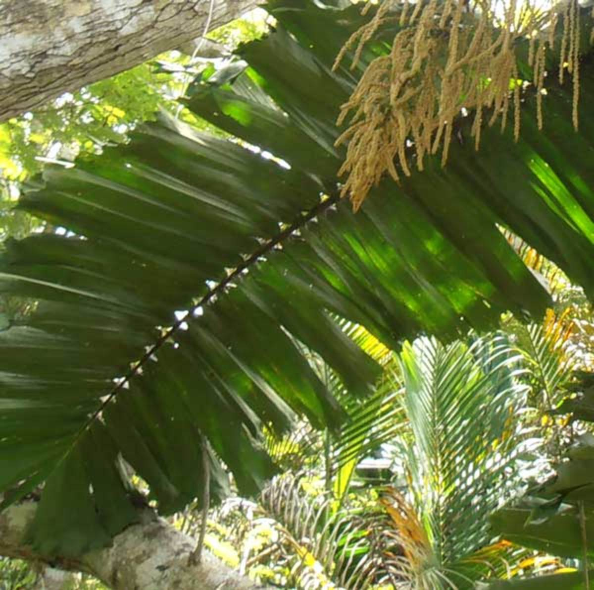 Alternate palm leaf. Leaves alternating along a palm frond. They can be thick (foreground) or delicate (behind).