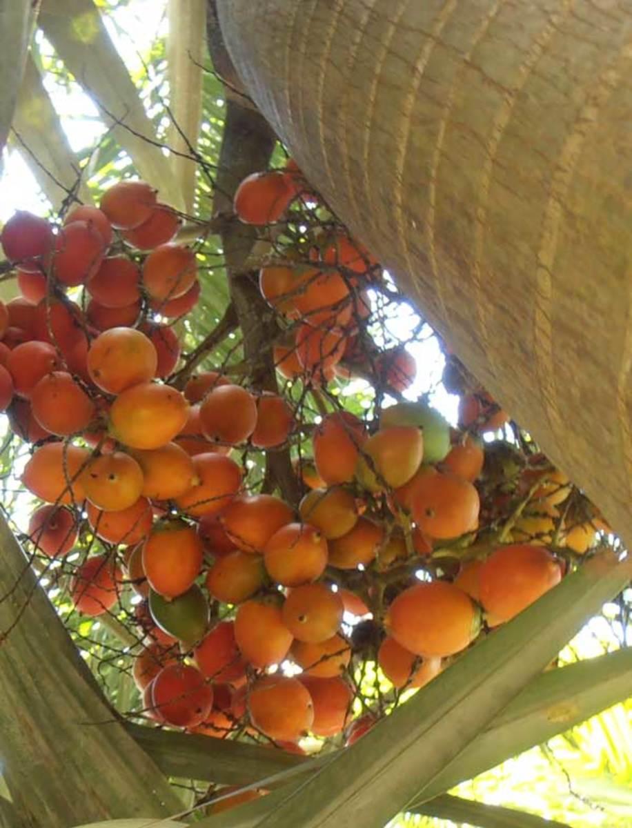 Mature betal nut fruit