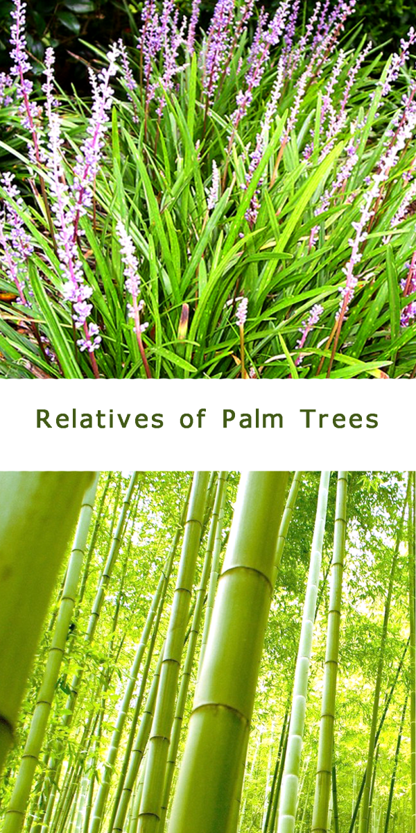 Grasses and bamboos are monocot relatives of palms trees