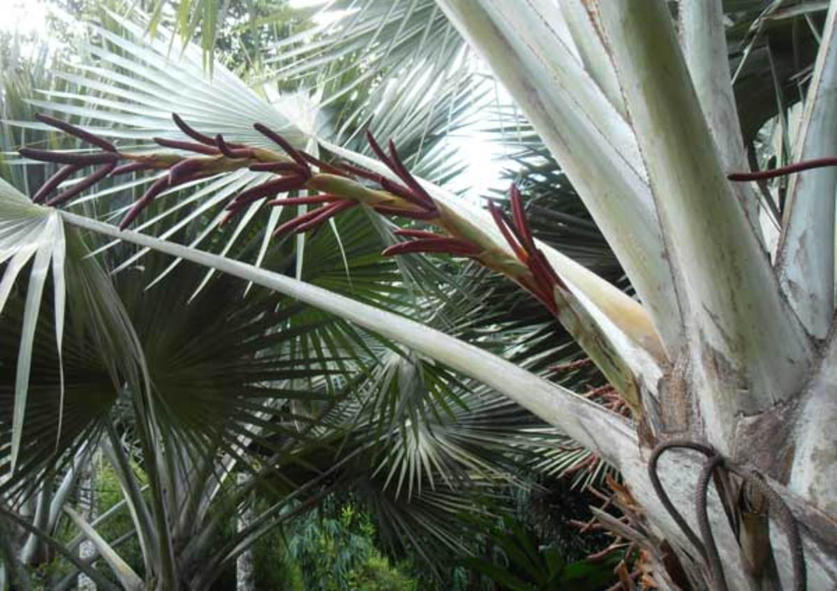 A beautiful crimson rachilla on this amazing fan palm (over a meter long!)