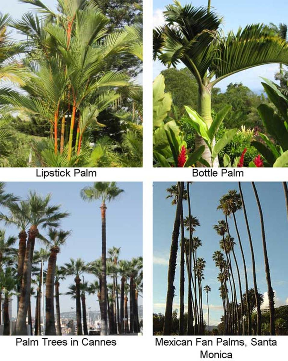 Some Ornamental Palms