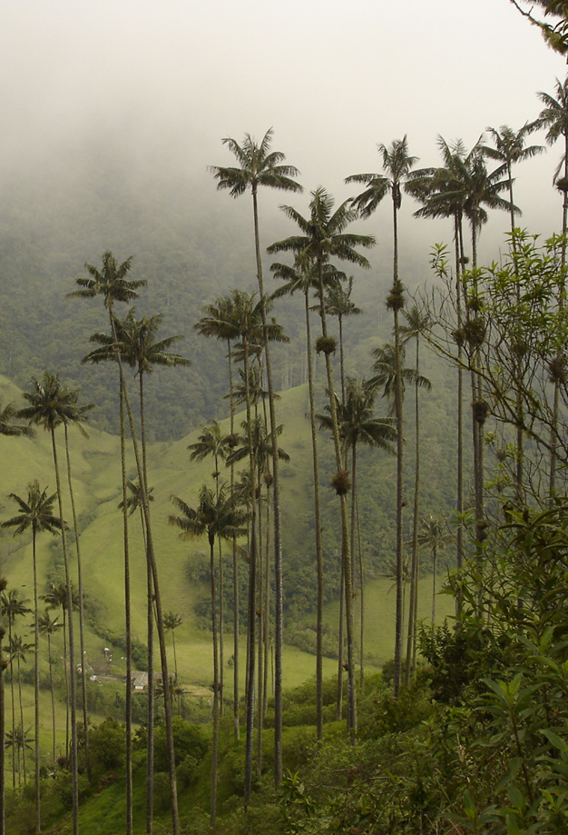 The tallest palm tree, the Wax Palm.