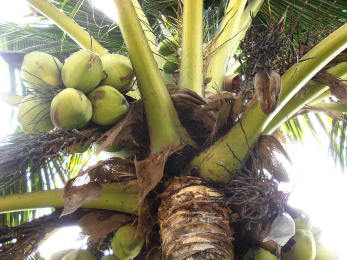 Coconuts in various stages of development
