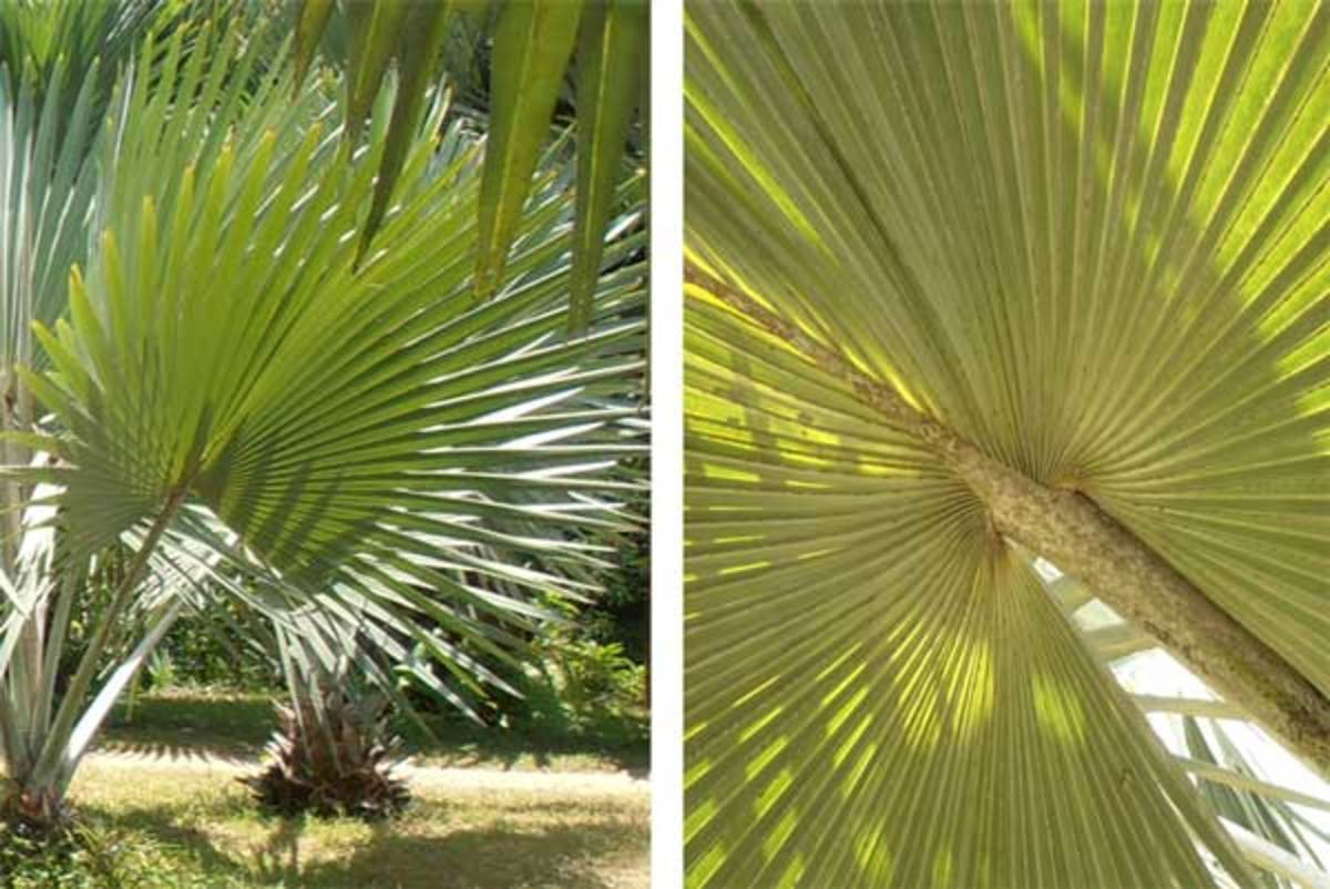 Palmate palm leaves
