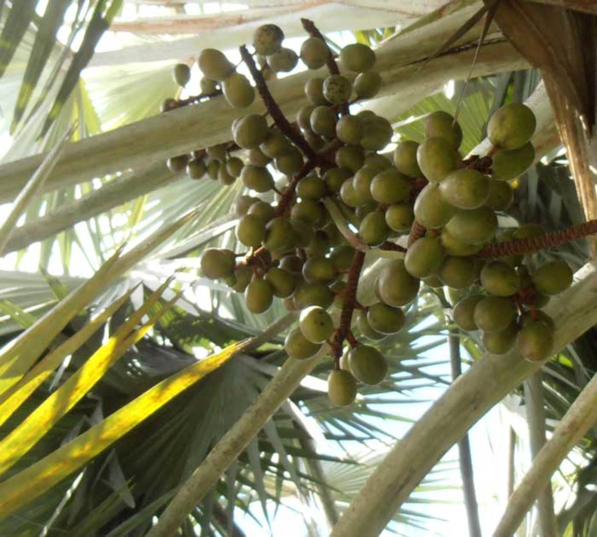 Young fruit of the Bismark Palm