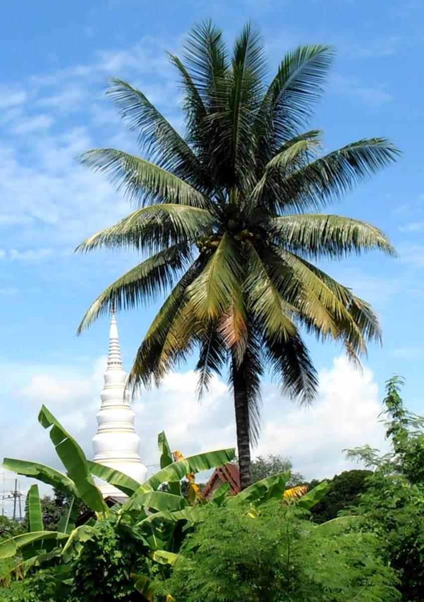 Coconut Palm with Buddhist Stupa behind