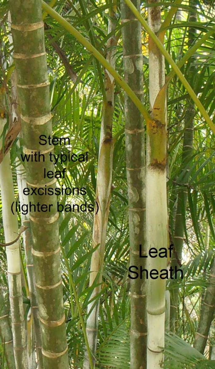Typical stems of a Golden Palm