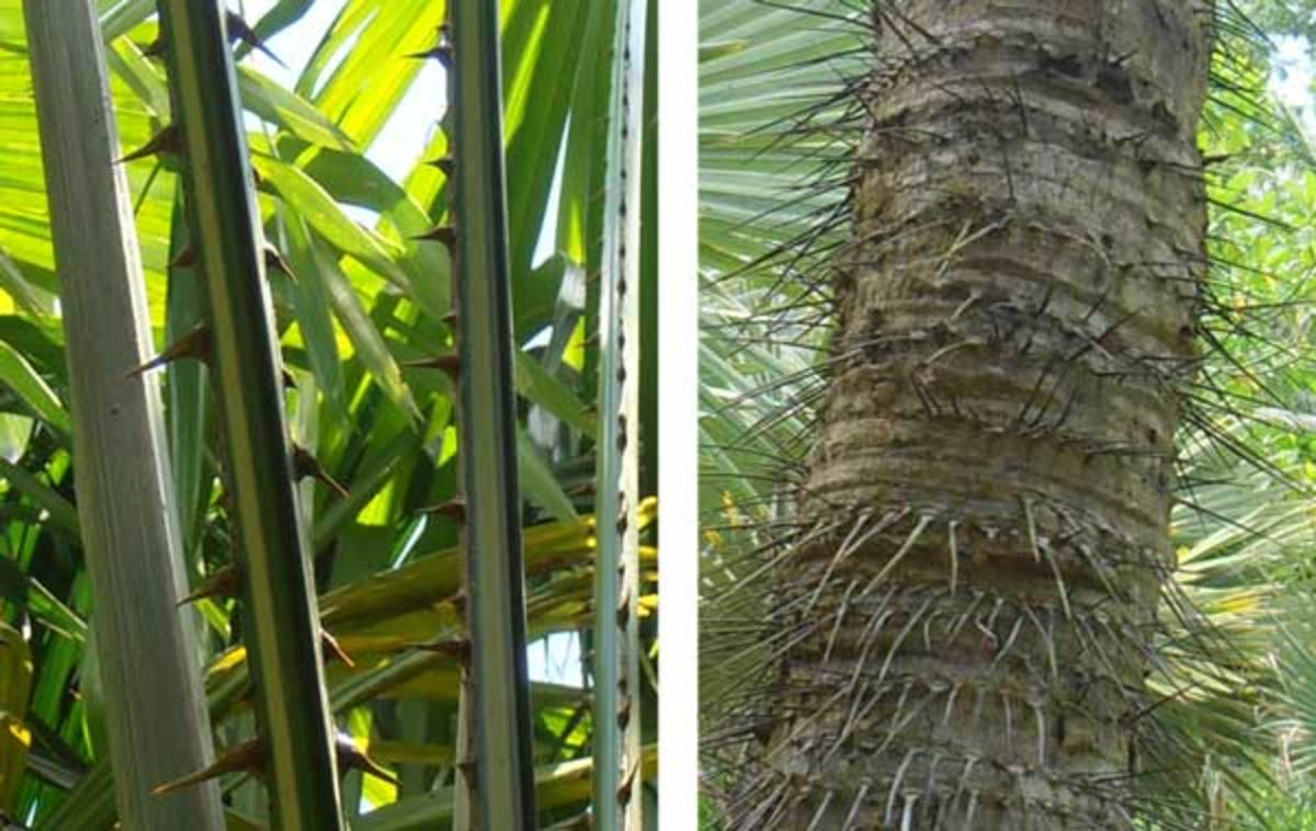 Palm tree spines
