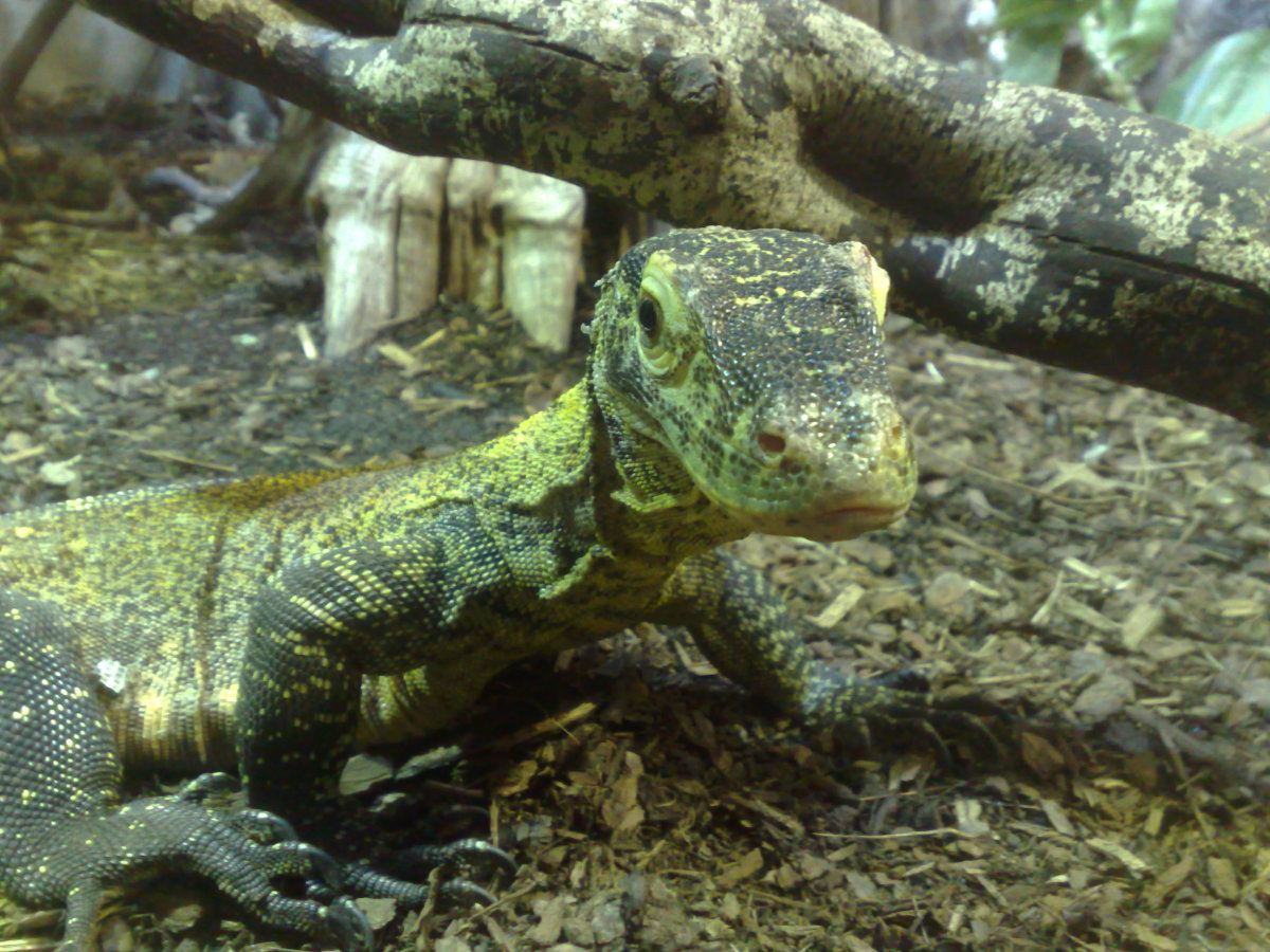 A Komodo Dragon was born at the Chester Zoo in England, the result of a parthenogenetic birth. Komodo Dragons will have male offspring as the result of parthenogenesis.