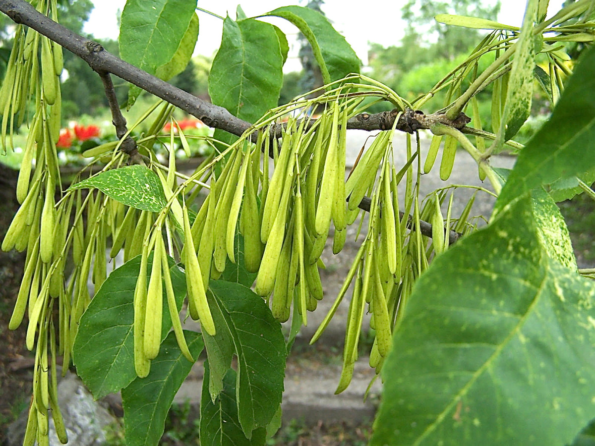 Green ash fruit and leaves