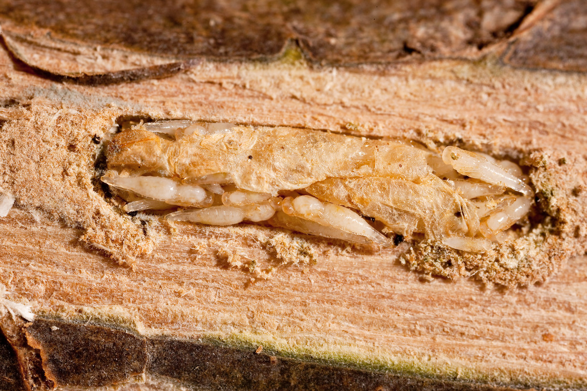 Parasitic wasps (the smaller creatures) feeding on an emerald ash borer larva