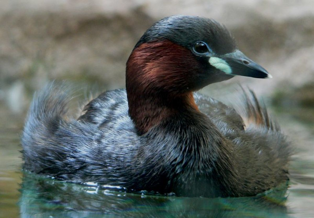 The little grebe or dabchick is the most common grebe to be found in Britain.