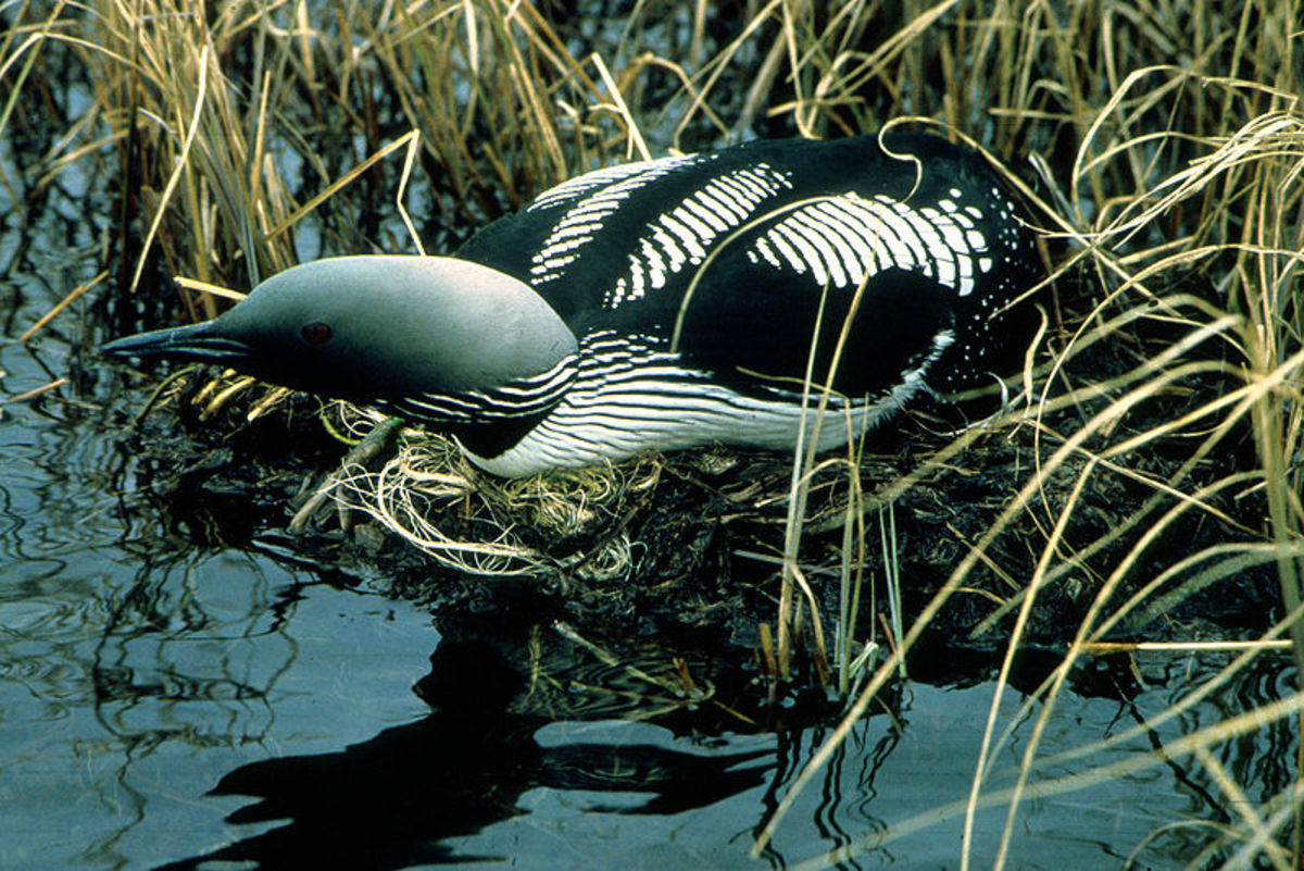 A black throated diver sat on a typical nest supported by the surrounding vegetation.