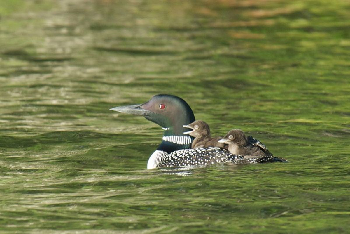 Great northern diver chicks regularly ride on the backs of their parents.