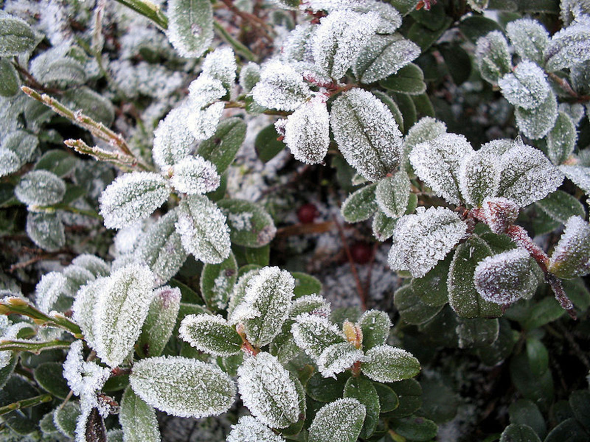 P. syringae's ice nucleation ability helps make frost on plants.