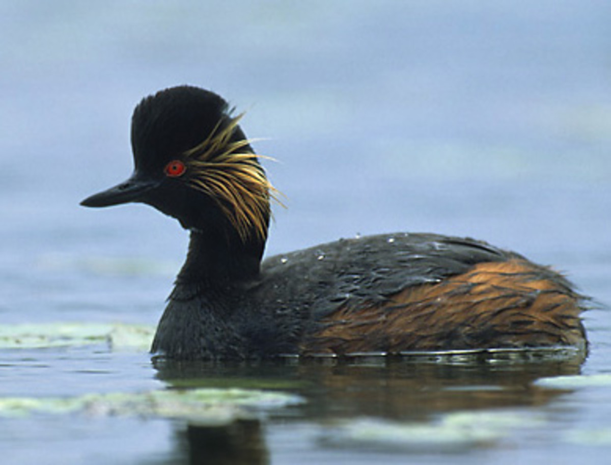 The adult in breeding plumage has golden ear tufts which explain why its otherwise known as the eared grebe. It raises its head feathers during its courtship display.