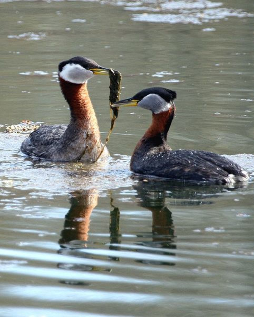 Red necked grebes engaging in their elaborate courtship display.