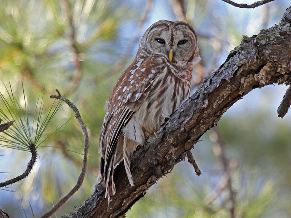The hooting of owls echoes through the Everglades after night falls.