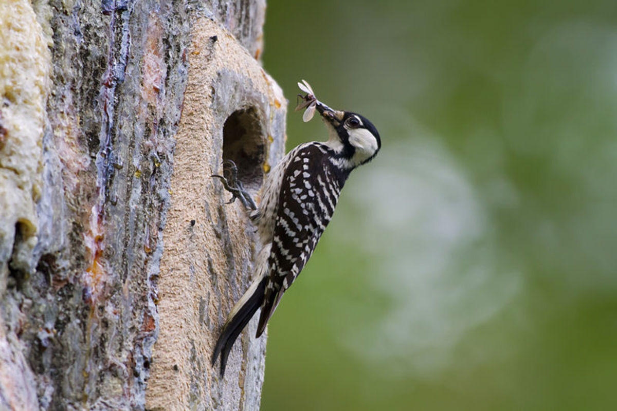 Woodpeckers help keep forests healthy by eating the insects that damage trees.