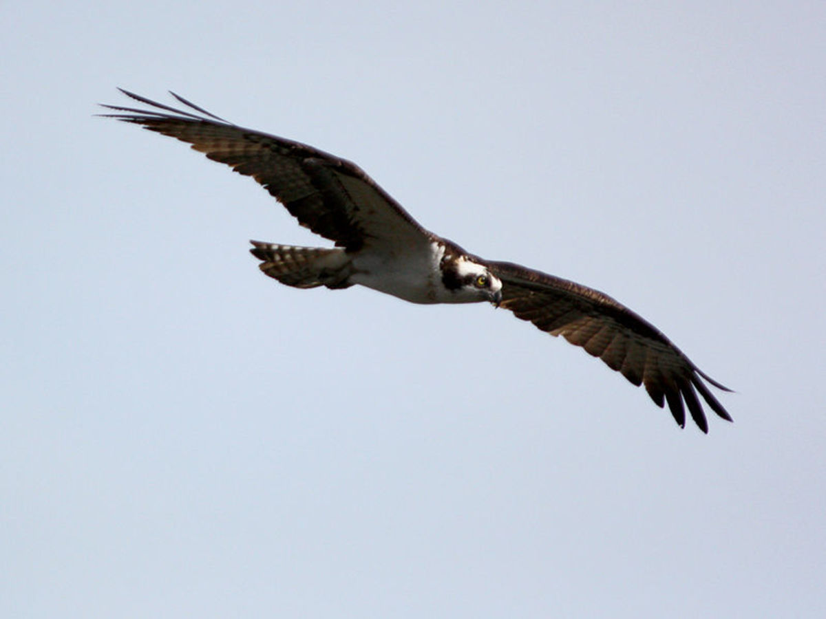 Osprey are a common sight in the Everglades National Park