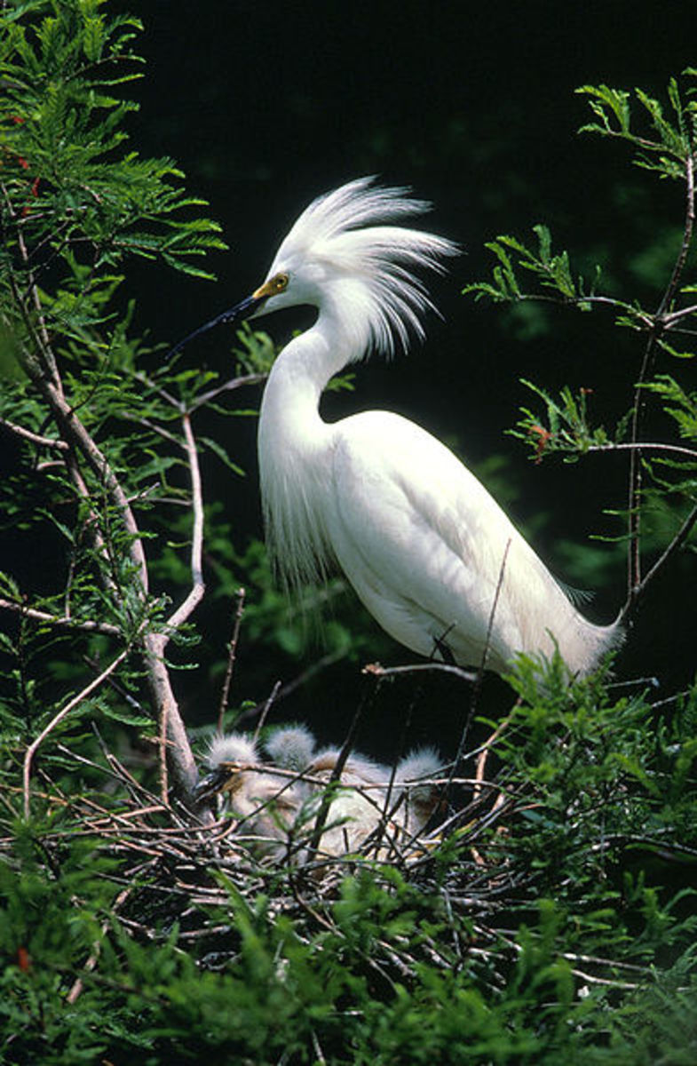 Egrets are herons.  They are usually snowy white like this Snowy Egret and have a head plume that is accentuated during the breeding season.