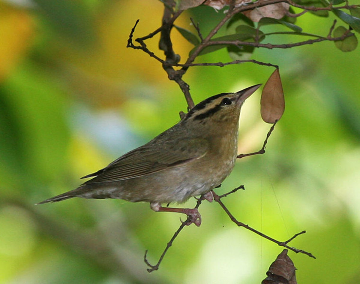 Many northern warblers will migrate to south Florida during the winter months.