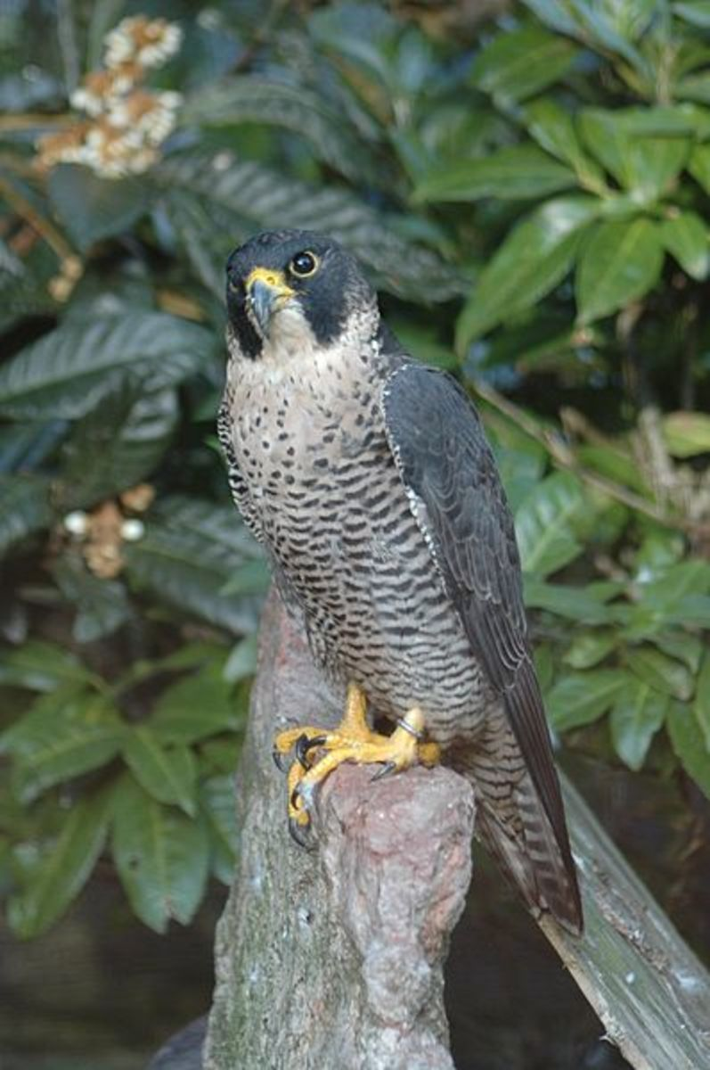 Peregrine Falcons are the worlds most widespread as well as the worlds fastest animal.