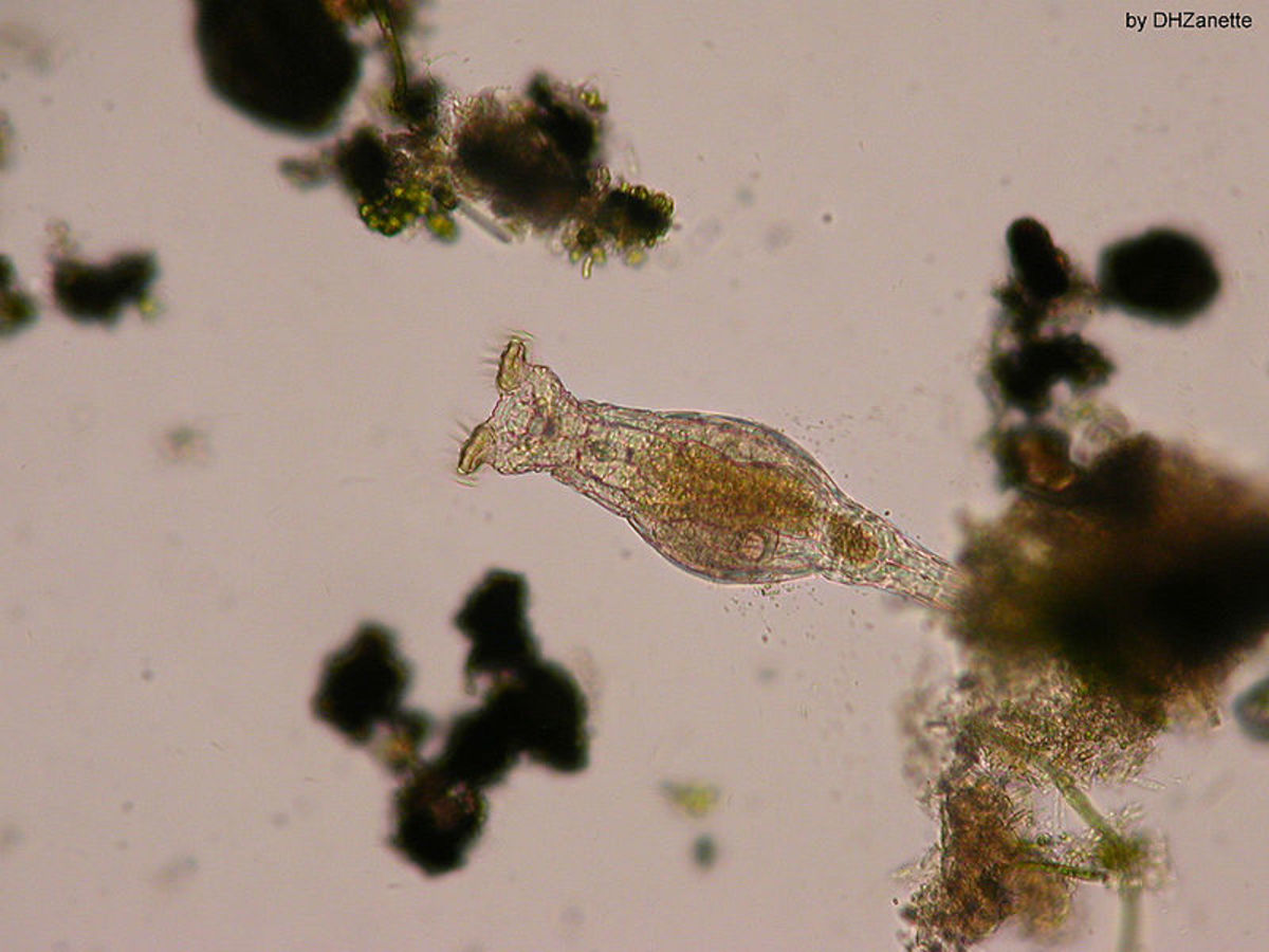 Rotifers are an anomaly in the world of asexual organisms - this group of animals have been celibate for 70 million years