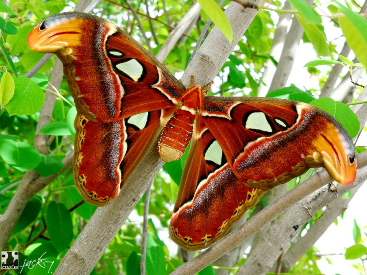 With its large size, snakehead- like wing tips and translucent white markings, the Atlas moth is very imposing to potential predators.