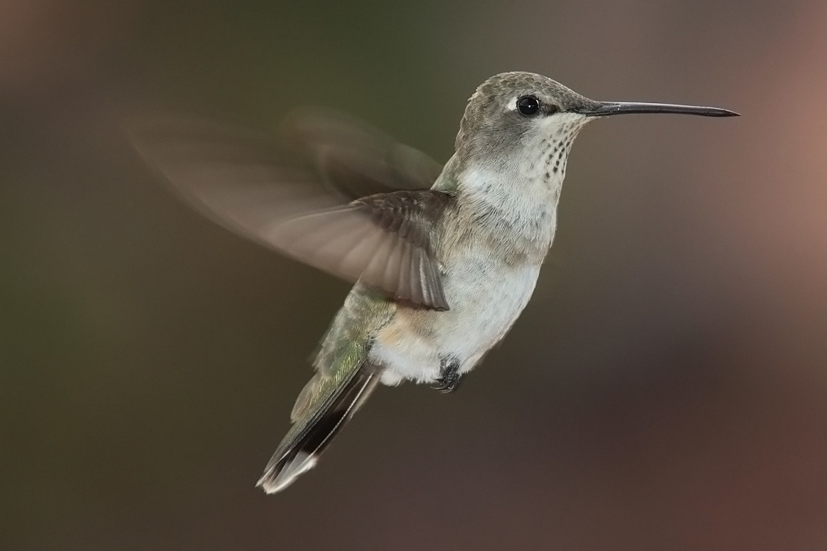 The hollow bones and lightweight feathers allow some birds to hover or even fly backwards - like this Black-Chinned Hummingbird.