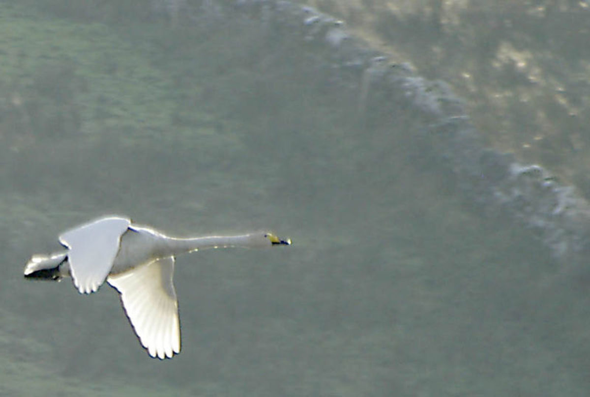 The whooper swan flies on slow, powerful wing-beats,  without the larger mute swan's 'wing music'.