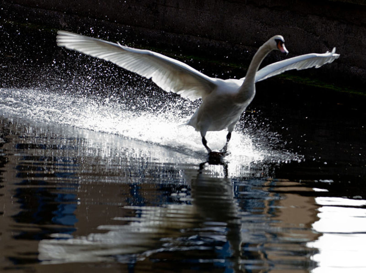 The mute swan is one of the heaviest birds able to fly, as a consequence it must execute a running take-off to get into the air, and vice versa for landing.