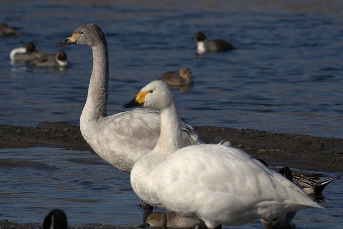 The Bewick's swan is the smallest of Britain's three species of swan. It has a more rounded head than its close cousin, the whooper. The juvenile is grey brown.