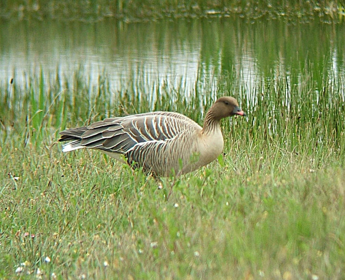 The pink-footed goose is smaller than the bean goose and is distinguished by its pink feet and pale grey back.