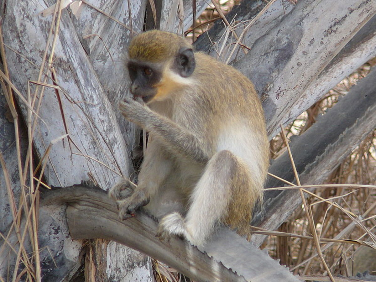 The green monkey only lives in a small part of West Africa, but they helped John Ssebunya survive for several years in the jungle.