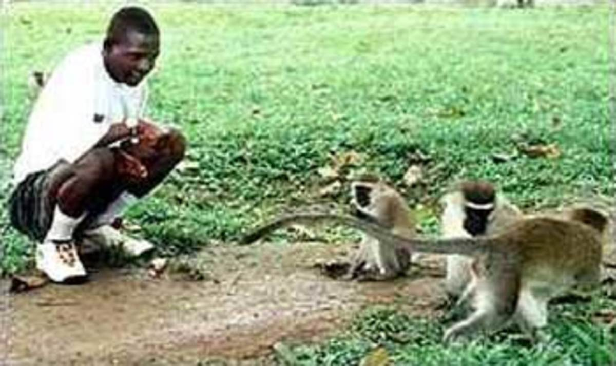 Despite the fact that John Ssebunya has been successfully brought back into the human fold, he retains a strong affinity with monkeys.