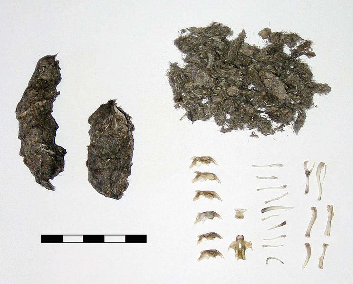 Owl pellets are the undigested remains of an owls dinner.  An owls pellets may contain more than one skeleton and the fur of the animal.