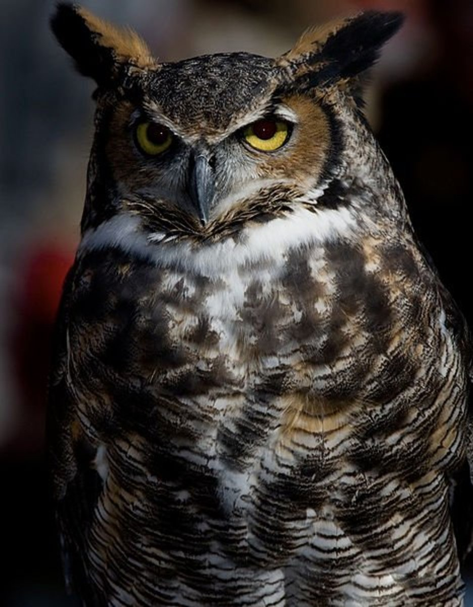 The Great Horned Owl is the largest owl in NC and in North America.