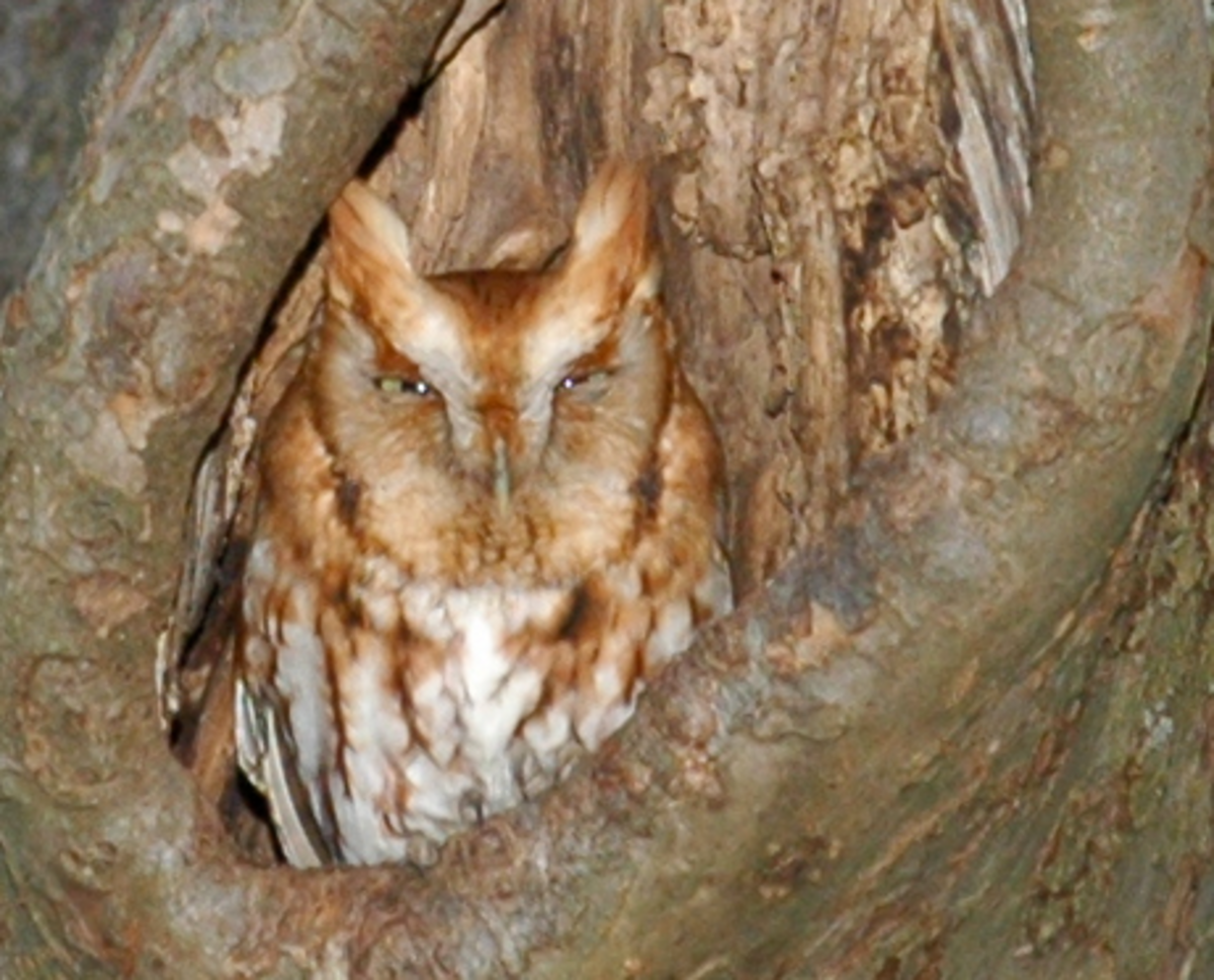 The Screech Owl is widespread throughout the Americas has several subspecies.