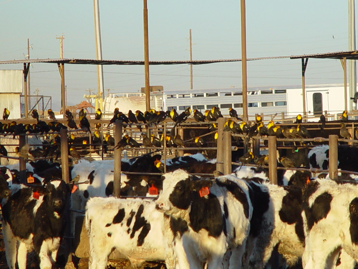 Unethical: A feedlot - a pretty nice one, too, believe it or not. Doesn't look much like a farm though, does it!