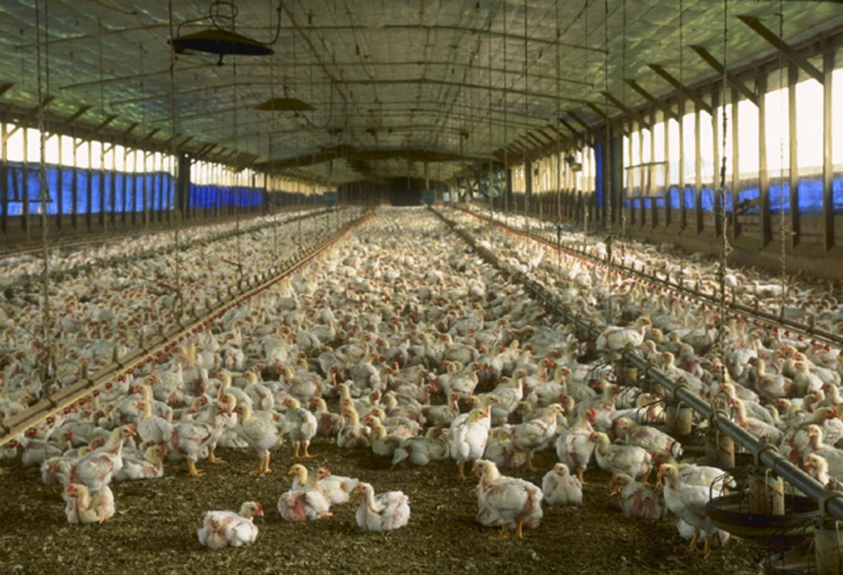 Unethical: An overcrowded chicken house, meant to raise a large number of chickens at one time for a BigAg chicken producer, one that I bet you're familiar with.