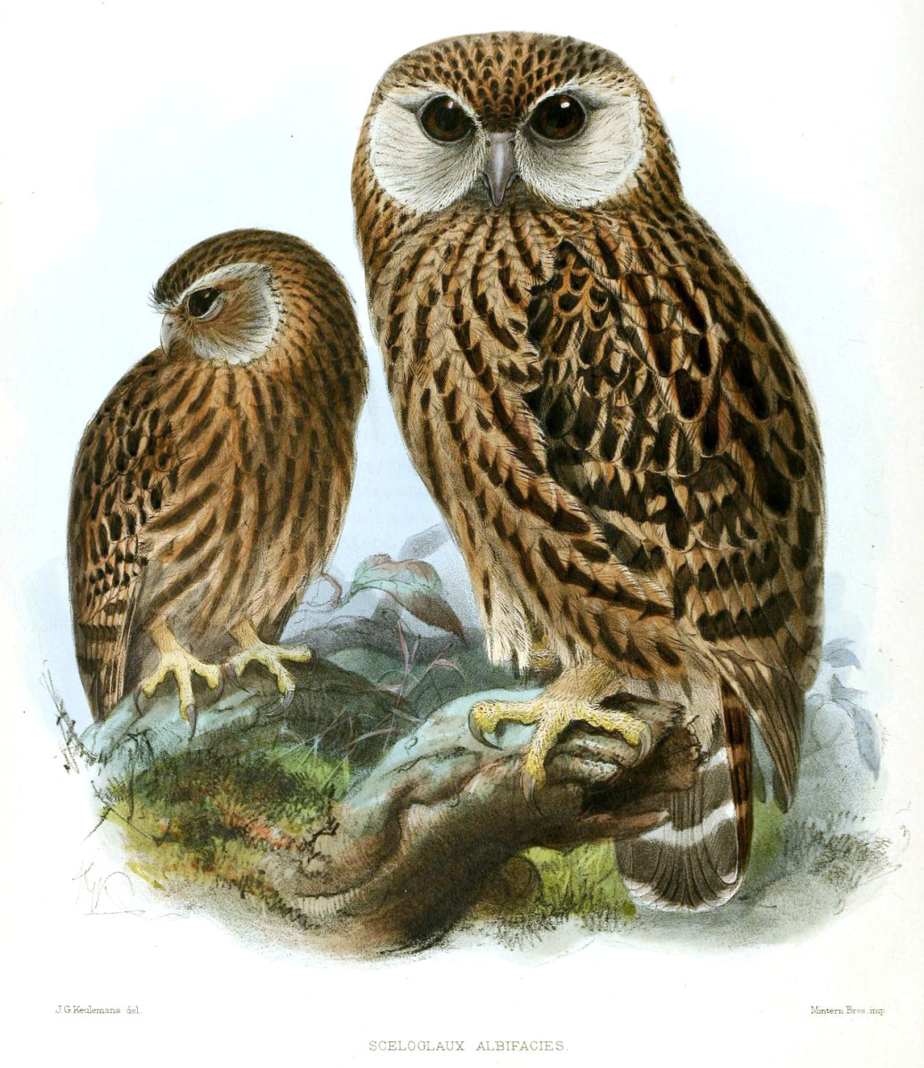 Laughing owls were named for their maniacal shrieks, which they used to communicate.